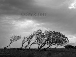 Vindblæste Træer